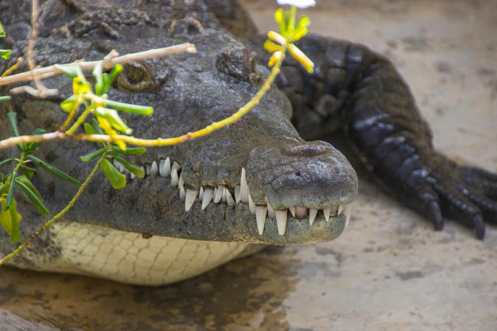 Krokodil, Black River, Jamaica